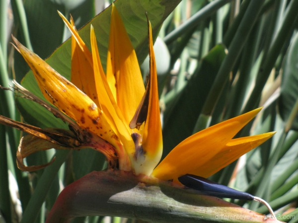 Bird of paradise flower at Coolart in Somers