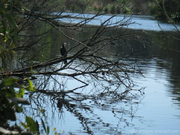 Coolart wetlands and cormorant