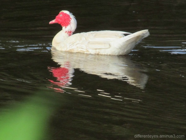 Dromana wetlands and Muscovy duck swimming