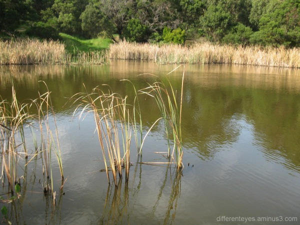 Dromana wetlands in Hillview Community Reserve