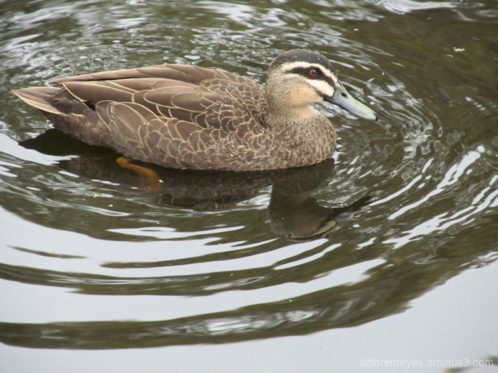 Swimming duck at Frankston park