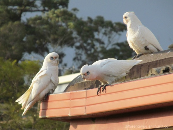Corellas in Dromana's Winter