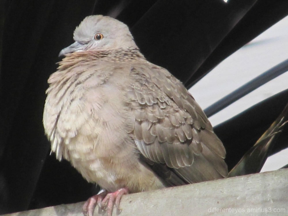 Cold dove on a fence in Rosebud