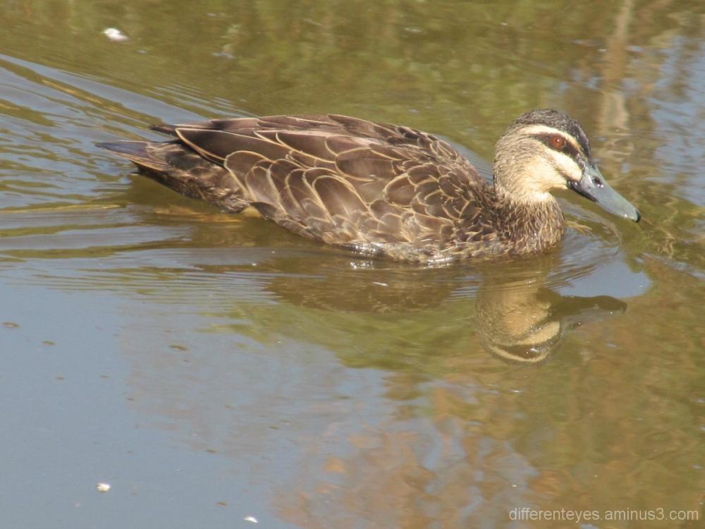 Dromana wetlands reflections