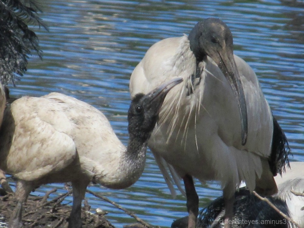 Ibis at Coolart, Somers