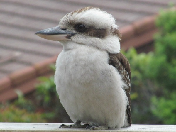 kookaburra on verandah rail