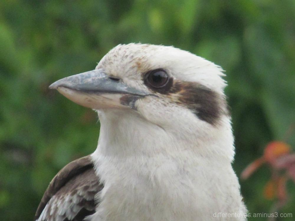 kookaburra on verandah rail