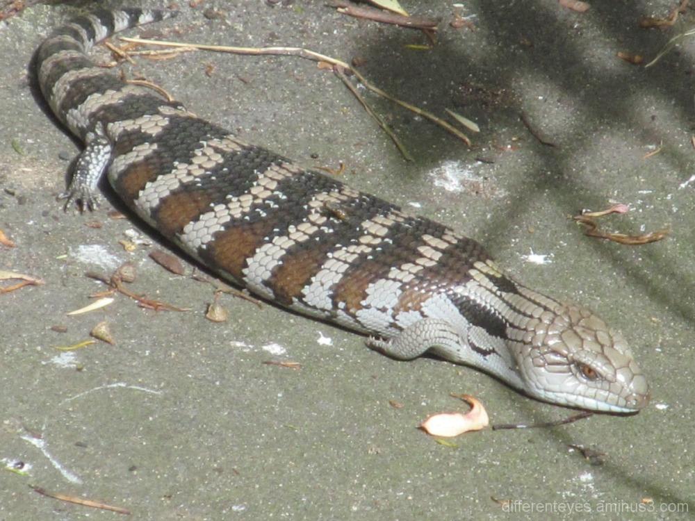 Australian blue-tongue lizard