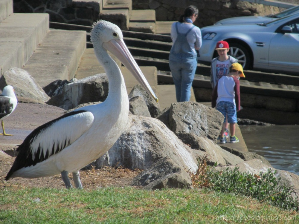 Pelican on Hastings foreshore