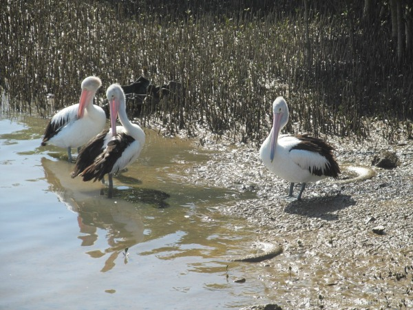 Pelicans on Hastings foreshore