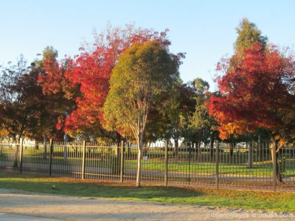colourful Autumn leaves in Cranbourne