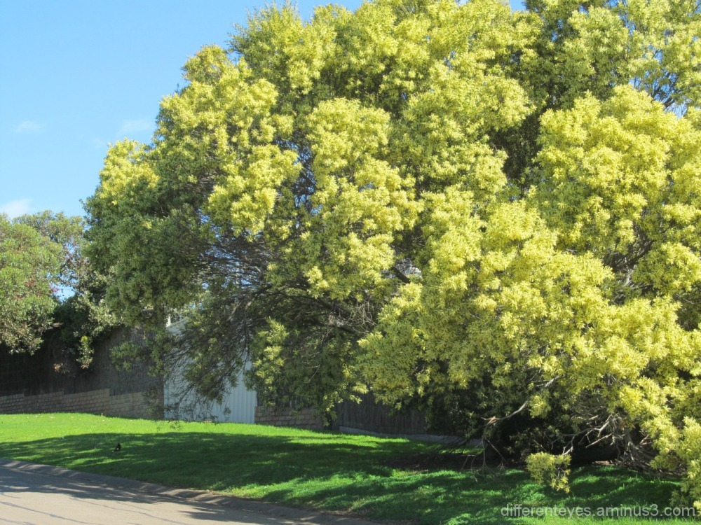 flowering wattle at Flinders