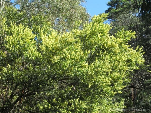 flowering wattle in Dromana