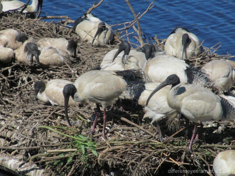 ibis at Coolart wetlands in spring