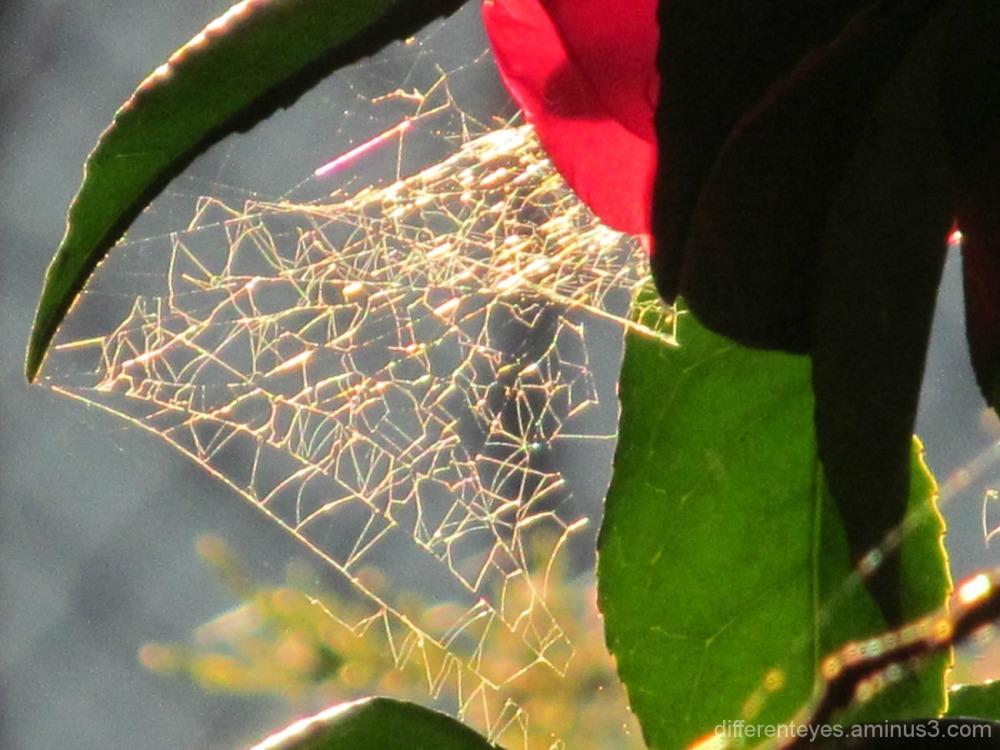 macro of a cobweb on a camellia bush