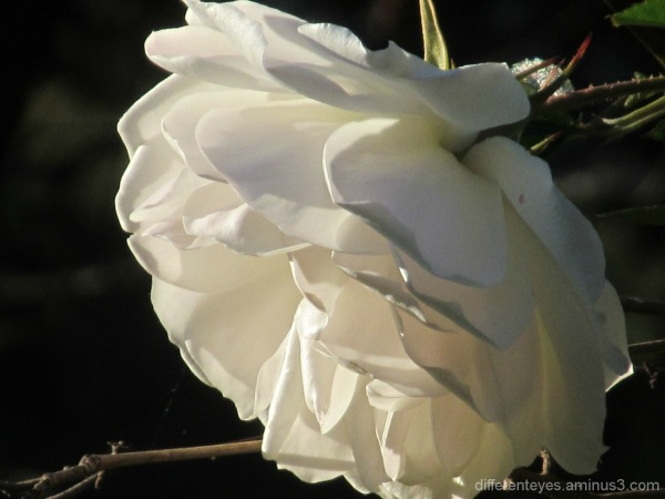 macro of a white rose