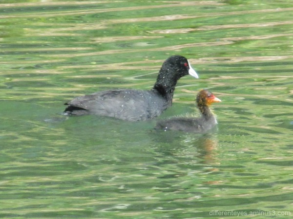 coot and baby at Enchanted Maze Garden
