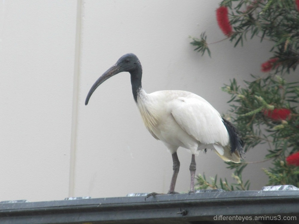 ibis on Dromana shopping centre roof