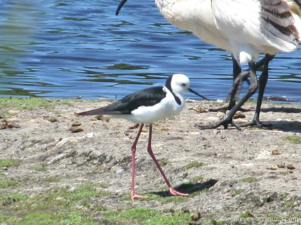 stilt at the Coolart wetlands, Somers