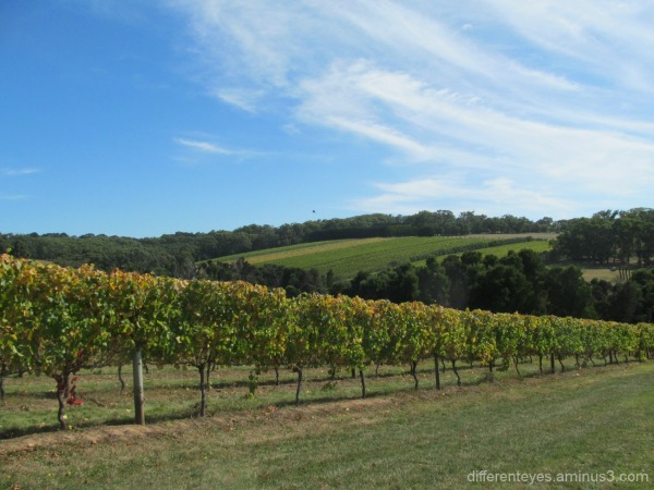 autumn view of Montakto vineyards at Red Hill