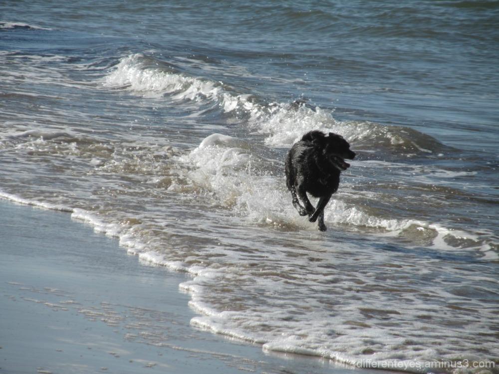 dog on Balnarring Beach