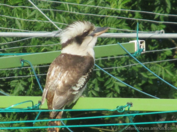 kookaburra on a clothes line