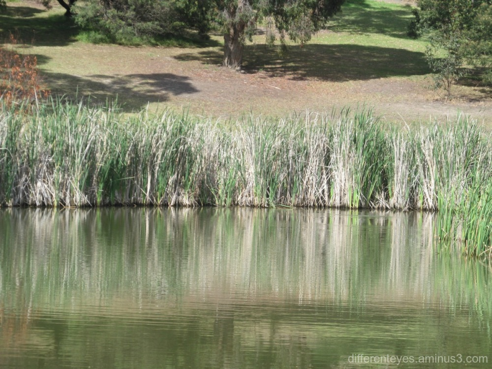grasses in Dromana wetlands