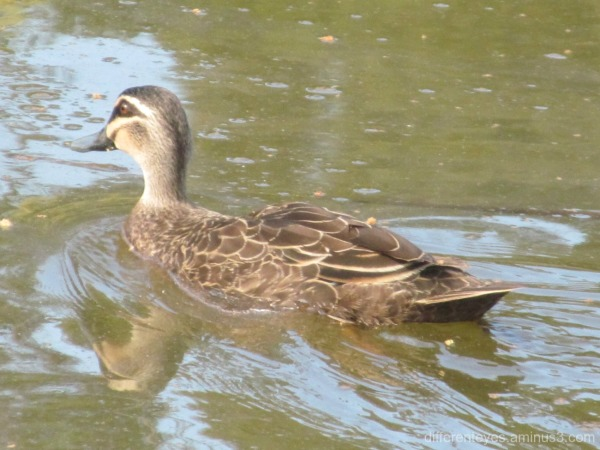 duck in Dromana wetlands...