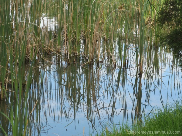 reflections at Dromana wetlands