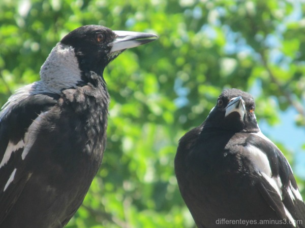 magpies in the Dromana Hills