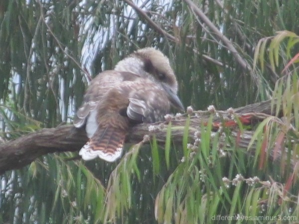 baby kookaburra in the Dromana Hills
