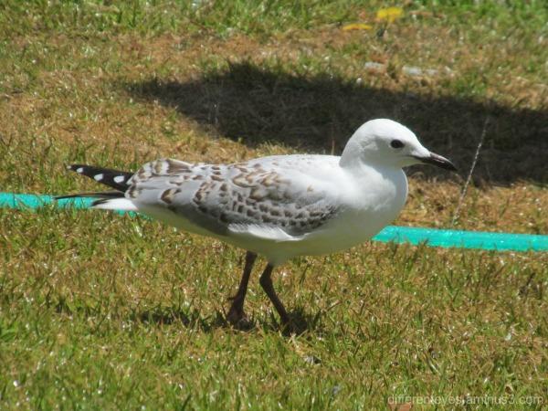 seagull outdside Portsea Hotel