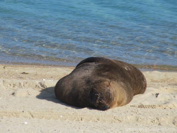 Arcto the seal on Dromana Beach