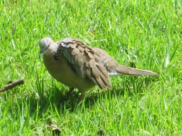 dove in my garden