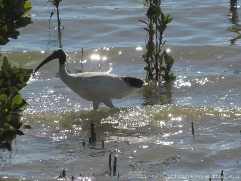 ibis in mangroves at Hastings...