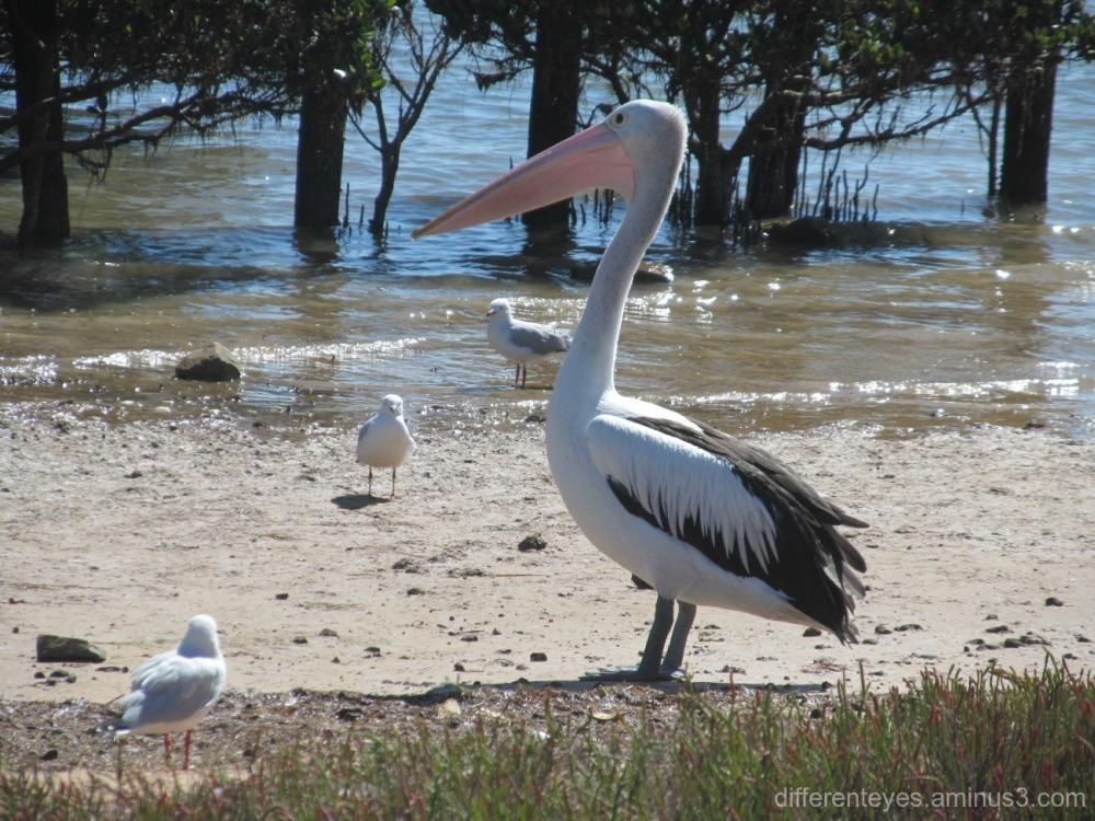 pelican and seagulls at Hastings
