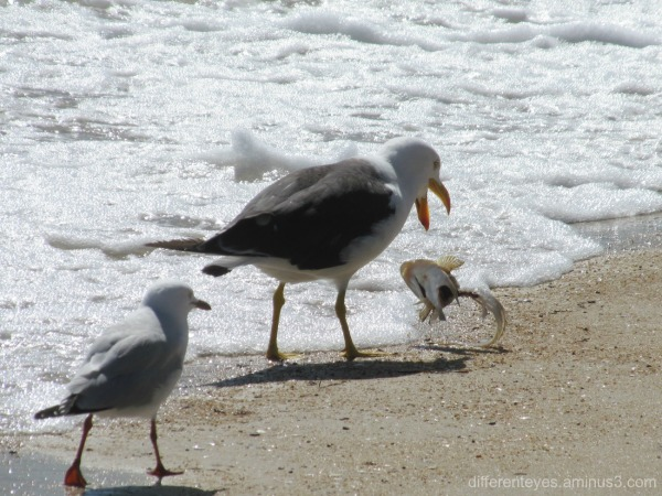 Pacific Gull and fish at Dromana beach