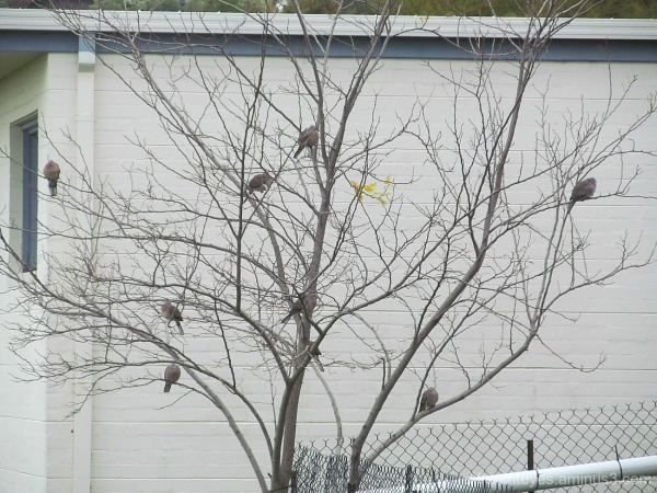 doves in a wintering tree