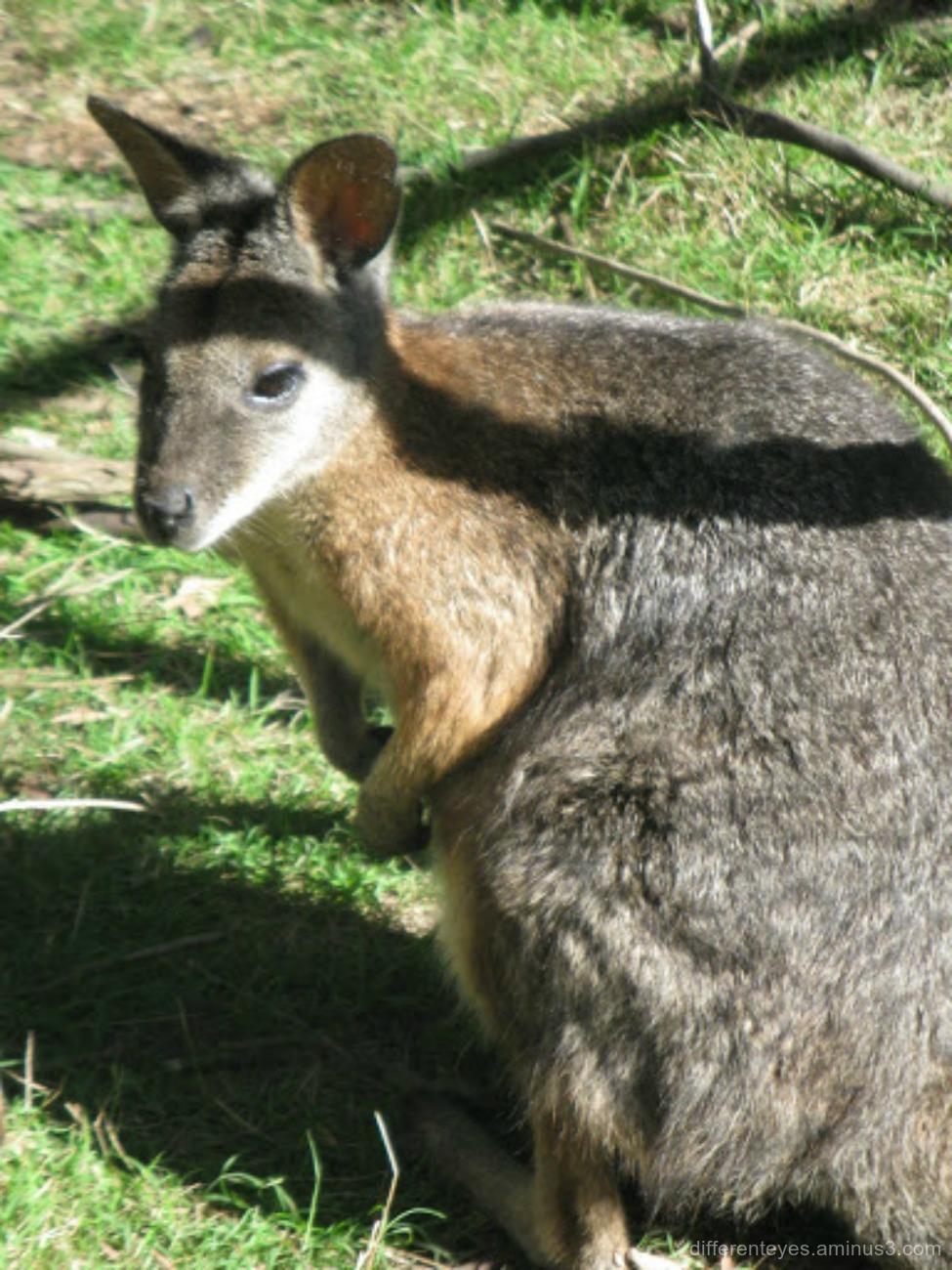 wallaroo at Moonlit Sanctuary