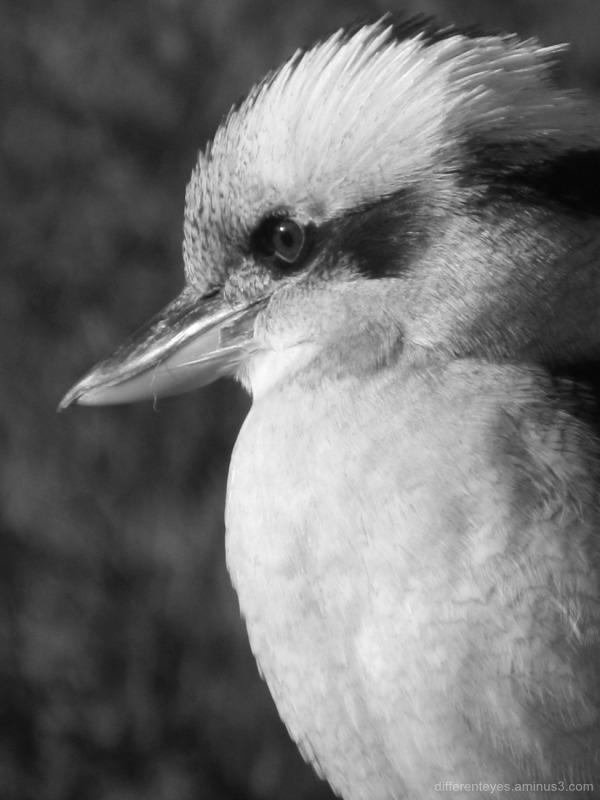macro of a kookaburra