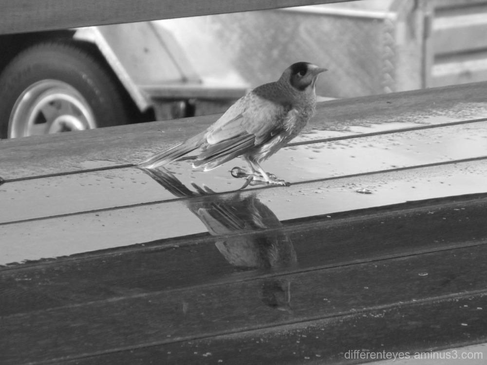 noisy minor bird and reflection