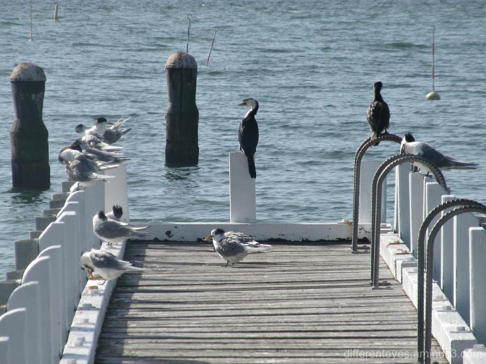 cormorants and terns on a Mornington pier