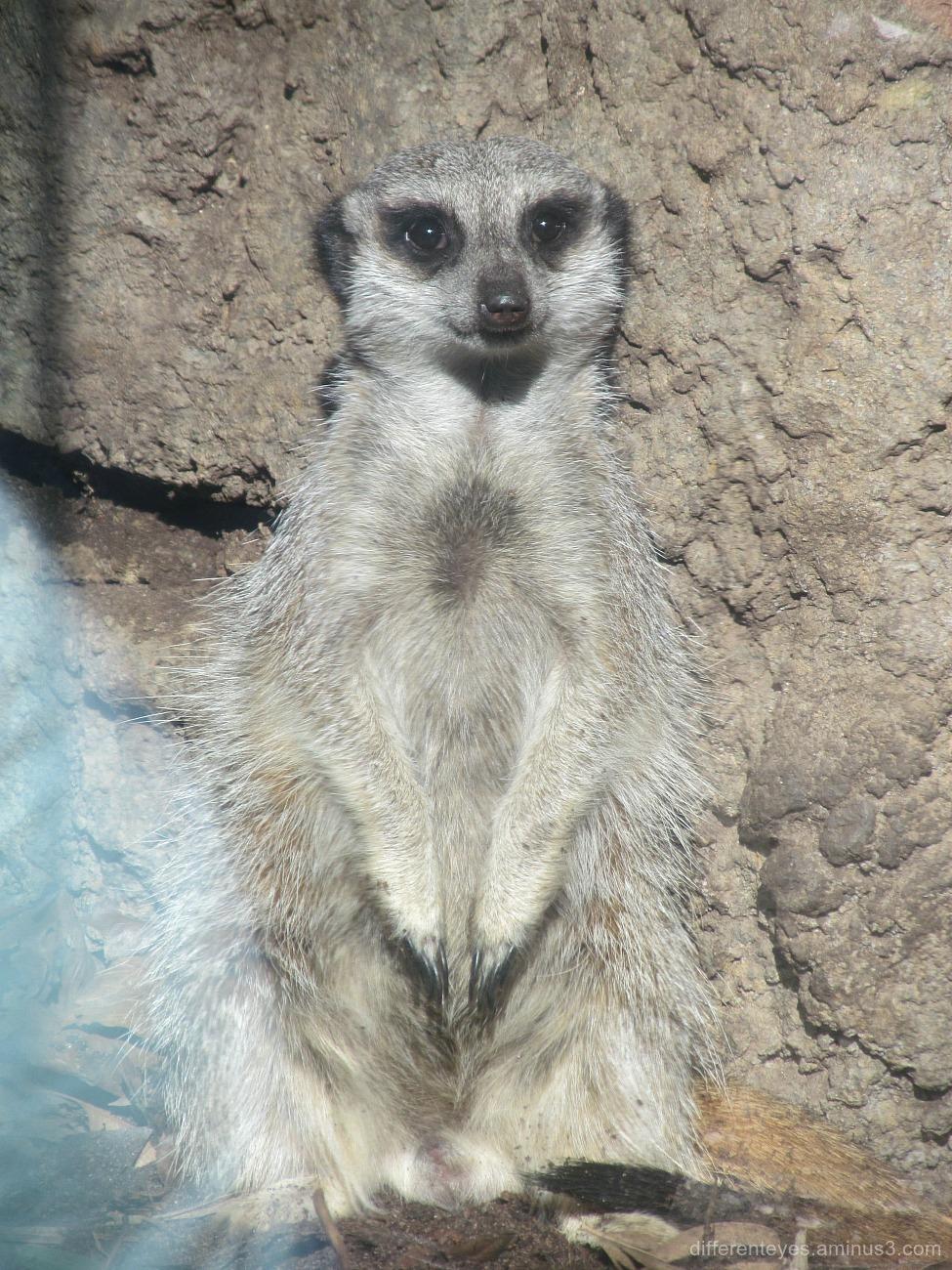 meerkat at Melbourne Zoo