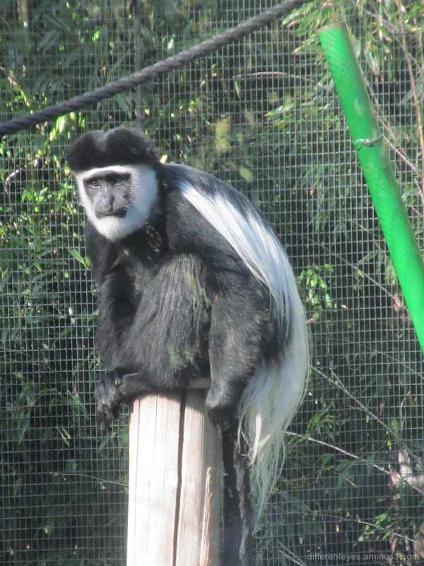 colobus monkey at Melbourne Zoo