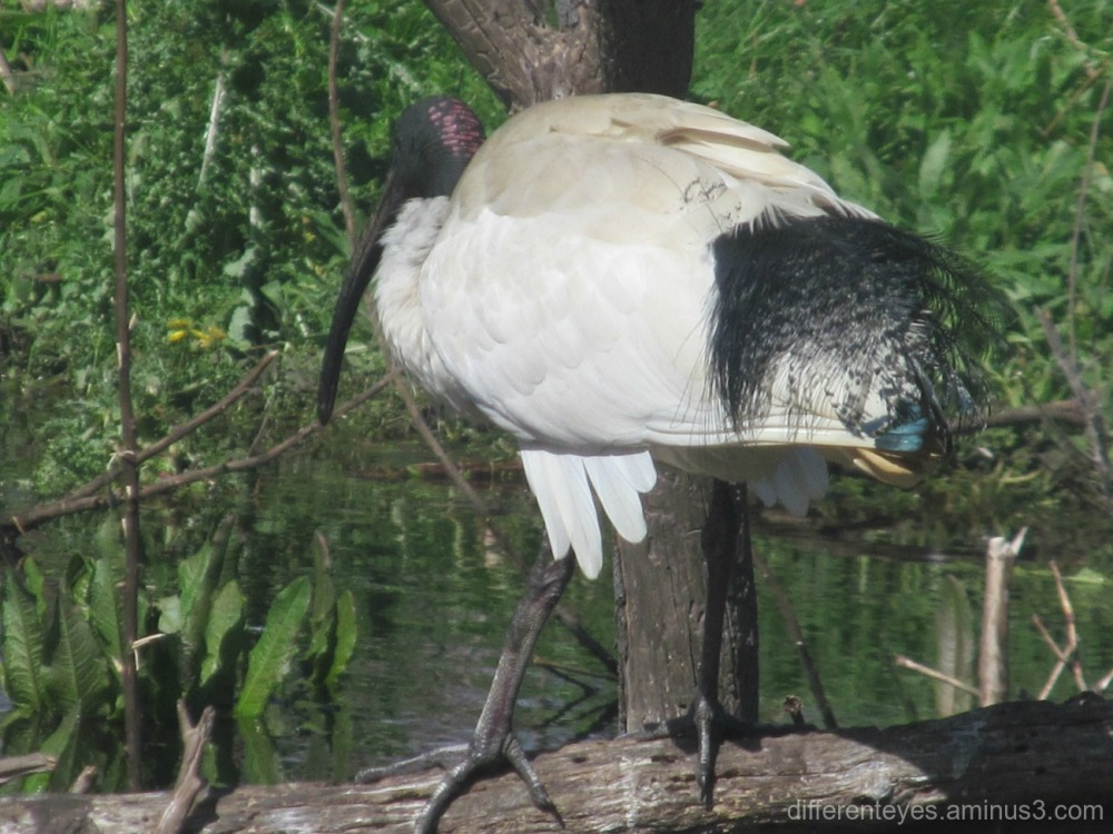 ibis in Coolart wetlands at Somers