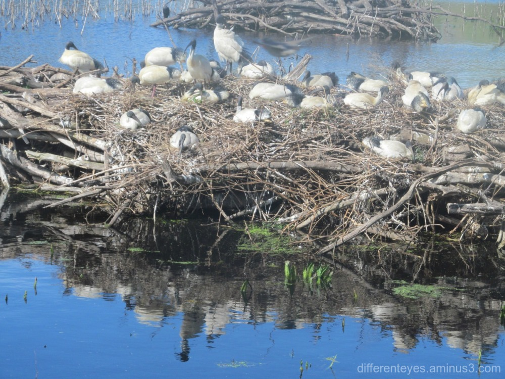 ibises in Coolart wetlands at Somers