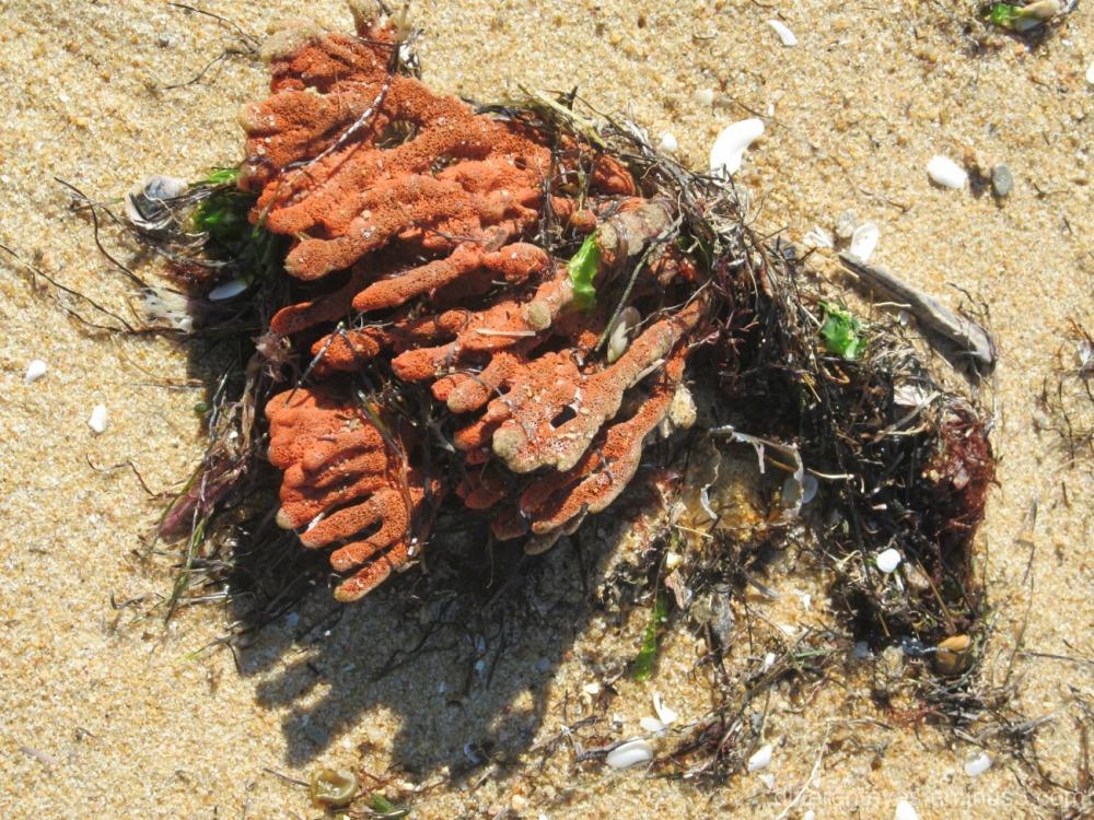macro sea life at Dromana beach