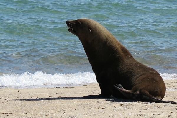 Arcto the seal at Dromana beach