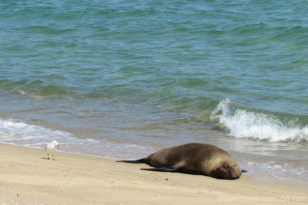 Arcto the seal at Dromana beach