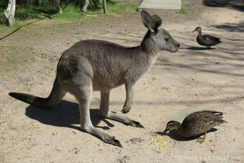 Wallaby and ducks - Moonlit Sanctuary, Pearcedale